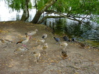 egyptian-geese-by-petersfield-lake