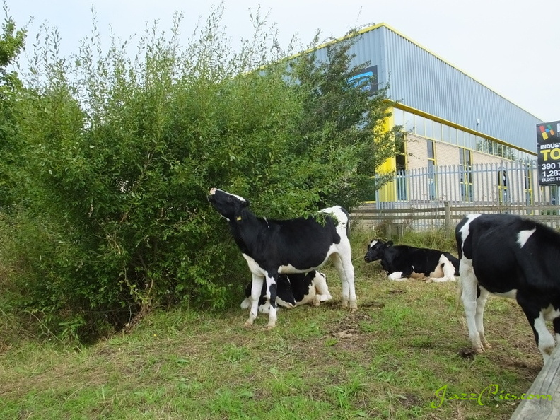 bullocks-by-the-industrial-estate.jpg