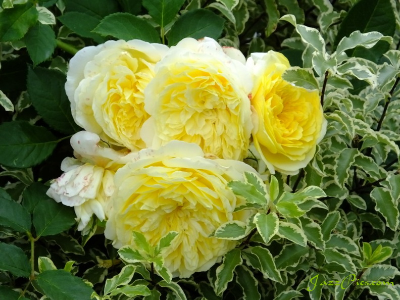 yellow-white-rose.jpg