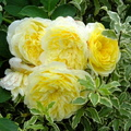yellow-white-rose