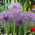 purple-allium