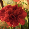 red-carnation