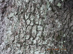 oak-bark-for-use-as-background