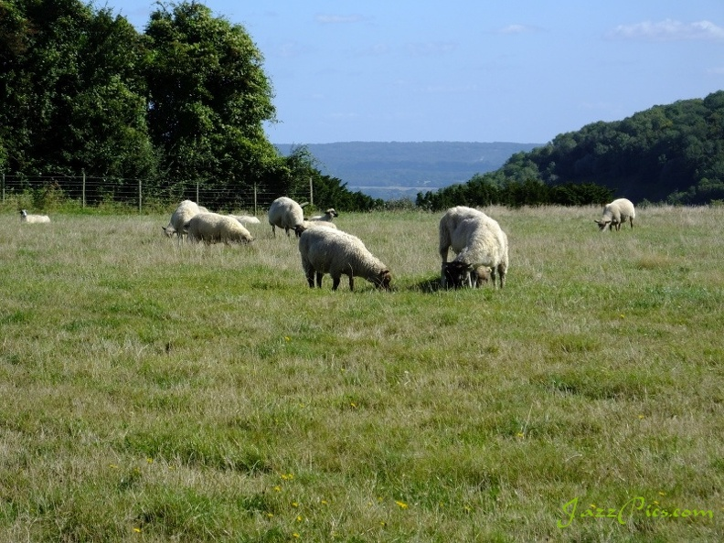 sheep-grazing-on-butser-hill.jpg
