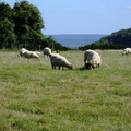 sheep-grazing-on-butser-hill