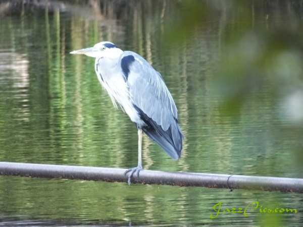 heron-at-petersfield-lake.jpg