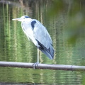 heron fishing at petersfield lake