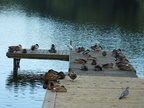 ducks-on-the-landing-stage