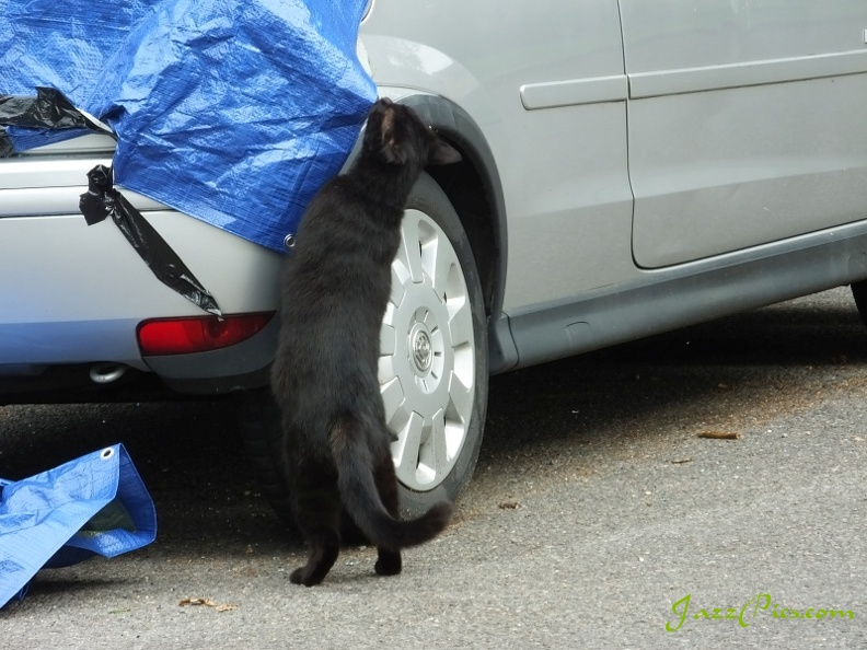 black-cat-checks-car-damage.jpg