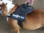 floyds-naughty-boy-harness