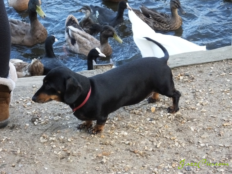 mimi-thinks-about-the-ducks.jpg