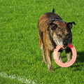 old-dog-plays-chase-the-ring