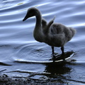 cygnet-exercising-his-winglets