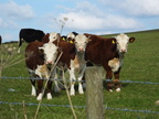 three-cows-on-guard