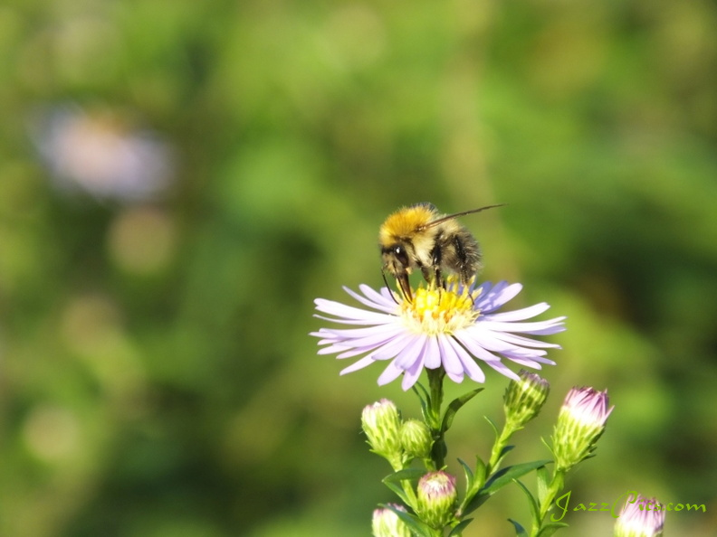 bee-feeding-on-daisy.jpg