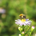 bee-feeding-on-daisy