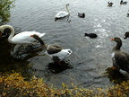 goose-chases-swan