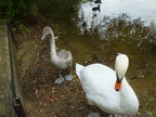 swan-guards-cygnet