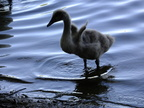 cygnet-little-winglets