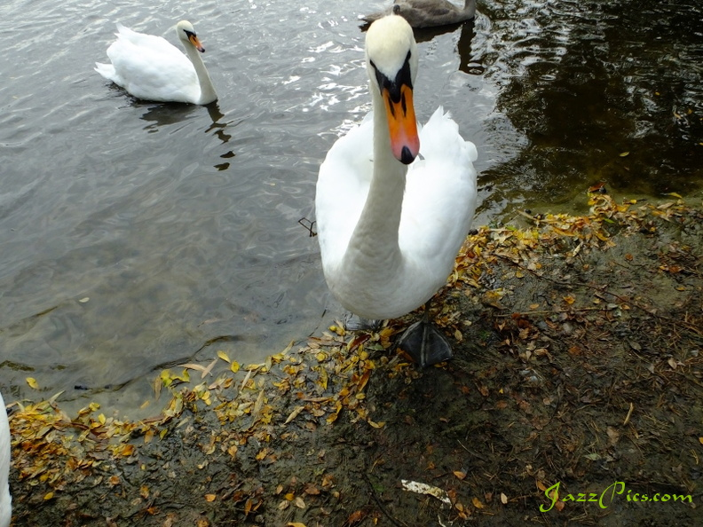 swan-asks-for-food.jpg