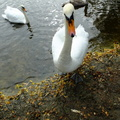 swan-asks-for-food